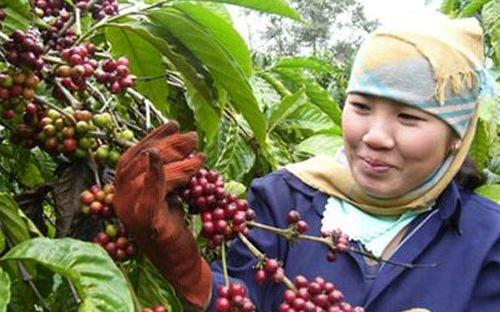 Giá cà phê arabica ngày 27/2/2014 vững do báo cáo thiệt hại hạn hán