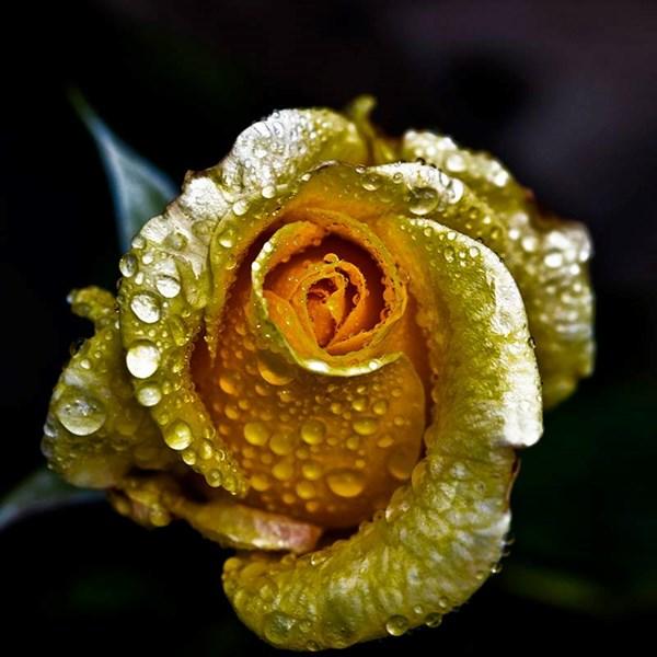 Tại cửa hàng 297 Bạch Mai, một bông hồng dát vàng 24K có giá 530.000 đồng