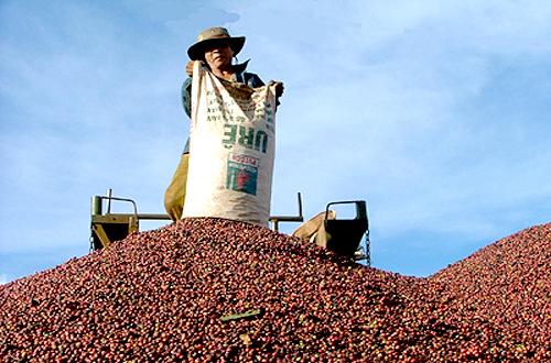 Giá cà phê xuất khẩu xuống nhanh