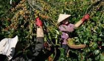 Các kho dự trữ cà phê của Việt Nam chạm mức thấp nhất trong 2 năm qua