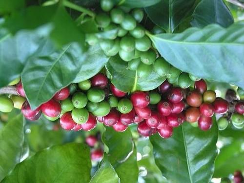 Giá cà phê toàn cầu giảm làm phục hồi nền xuất khẩu cà phê của Ấn Độ