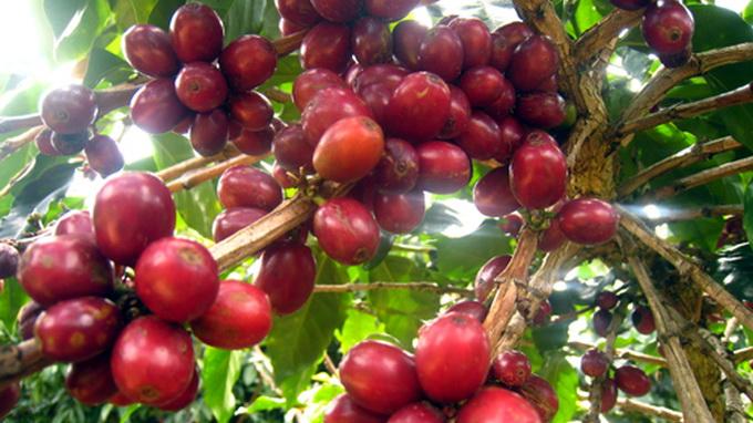Giá cà phê tăng lên mức cao nhất trong 5 tháng cao qua