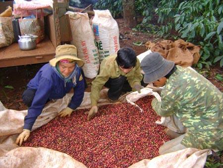 Doanh thu cà phê đang bị ảnh hưởng bởi điều kiện thời tiết và giá cả toàn cầu