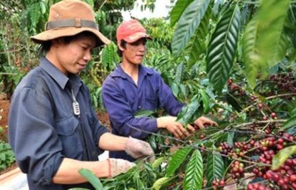Cà phê Việt Nam thu hút người mua trước khi vụ thu hoạch lên tới đỉnh điểm