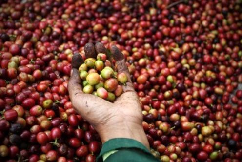 Kim ngạch xuất khẩu cà phê của Ấn Độ giảm 4% trong năm nay