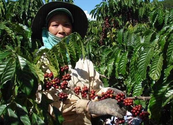 Giá cà phê tăng mạnh do nền sản xuất cà phê của Việt Nam suy giảm