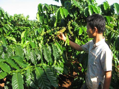 Người trồng cà phê tại Việt Nam đang hạn chế bán ra do nguồn cung suy giảm