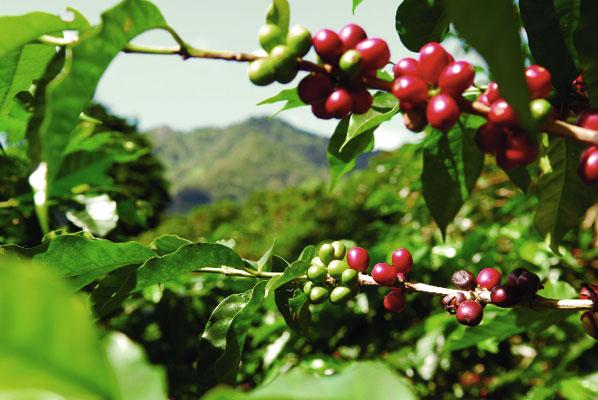 Các kho dự trữ cà phê tại các cảng xuất khẩu tăng kể từ niên vụ 2010-2011