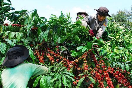 Giá cà phê nhân xô tại Đồng Nai tăng cao ở mức kỷ lục