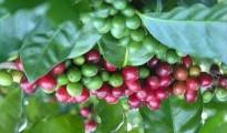Giá cà phê tháng 6/2014 giảm do mức độ thiệt hại của hạn hán tại Brazil giảm